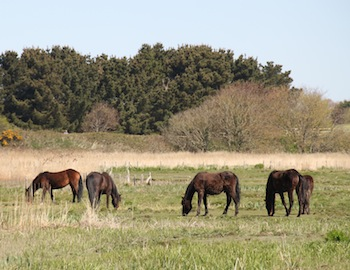 New Forest Ponies on Stanpit Marsh